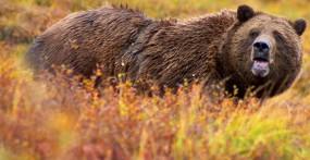 Grizzly bear in Denali National Park, Alaska